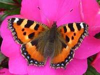 irish butterflies butterfly species found in ireland