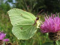 Photo of Brimstone - White/Yellow species